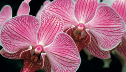Orchid (2008) All Occasion Card - 50p each