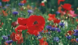Poppies Prayer Card - 25p each