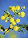 Thorn Tree Flowers Prayer Card - 25p each