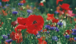 Poppies Prayer Card - 30p each